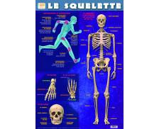 Poster éducatif recto verso Le Squelette - PICCOLIA